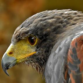 Káně Harrisovo by Věra Tudy - Animals Birds