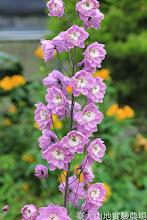 Photo: 拍攝地點: 梅峰-溫帶花卉區 拍攝植物: 大飛燕草 拍攝日期: 2014_08_18_FY