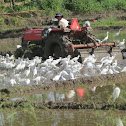 Egrets with tractor (video)