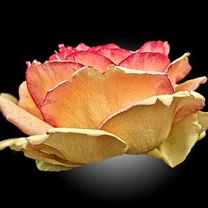GOR rose 179 X94.jpg