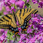 Two Tailed Swallowtail