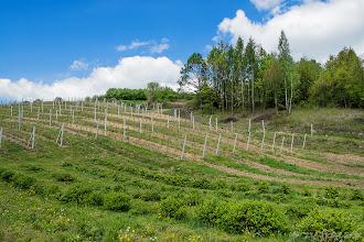 Photo: Winnica pod Sandomierzem