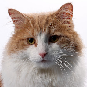 Mico by Yves Sansoucy - Animals - Cats Portraits ( cats, kitten, chattons, chat )