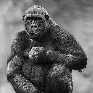 Gorilla Flower14 retake portrait NR bw.jpg