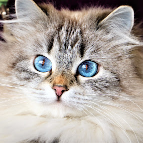 by Linda    L Tatler - Animals - Cats Portraits ( cat, long haited cat, animal, siberian breed cat, pet,  )
