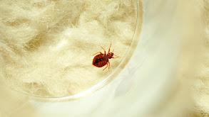Bed Bug Doomsday thumbnail