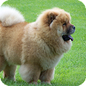 Chow Chow HD Live Wallpaper icon
