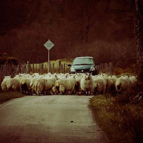 Sheep shifting by Morag Soszka - Animals Other ( blackie sheep, scotland, sutherland, moving sheep, blackies, sheep sirting )