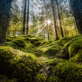 Sunrays in the forest. by Per-Ola Kämpe - Landscapes Forests ( nature, green, moss, sunrays, trees, forest, landscape, sunlight, sunbeam, sun )