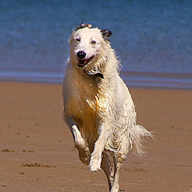 Jumping for Joy by Chrissie Barrow - Animals - Dogs Running ( sand, pet, sea, fur, wet, dog, lurcher, runing )