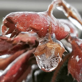 Ice Strawberry  by Michelle Vinnacombe - Nature Up Close Natural Waterdrops ( water, macro leaves, winter, nature, drop, ice, icicle, strawberry, water drop )