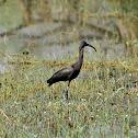 Ibis  -  Glossy Ibis(juvenile)