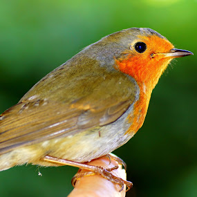 European robin by Marko Lengar - Animals Birds ( bird, robin, passerine, redbreast, erithacus,  )