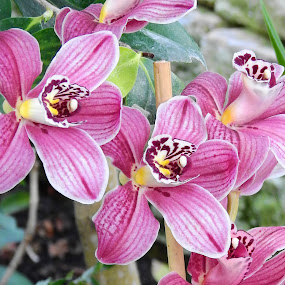 Orchids by Carol Leynard - Flowers Flower Gardens ( orchids, tropical plant, flowers,  )
