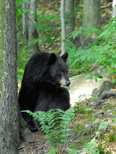 Photo: Camel's Hump State Forest contains important bear habitat