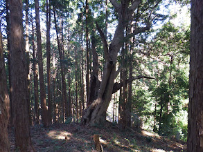 尾根末端に大木