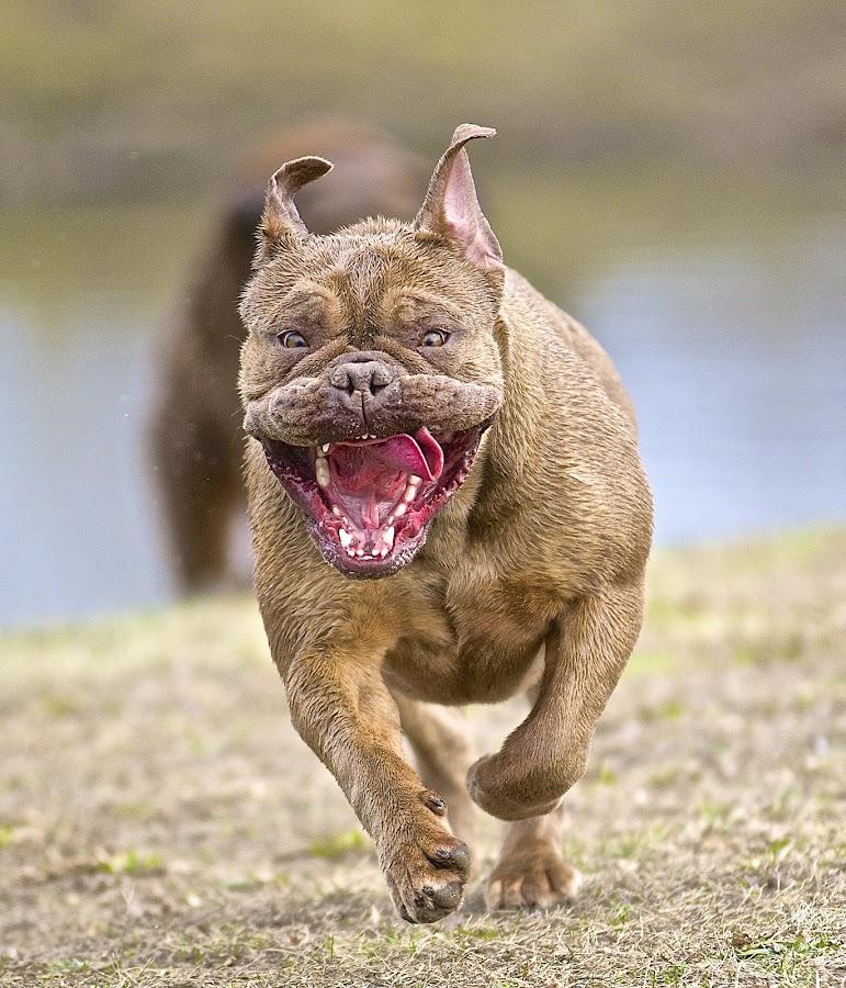 Indy on the Run by Martha Pope - Animals - Dogs Running ( natural light, playful, joy, one, run, running, natural background, nature, happy, action, mamal, animal, moving, male, animalia, play, charging, pwcmovinganimals-dq, adult, portrait, canine, joyful, animal kingdom, pet, zoology, dog, companion dog, natural )