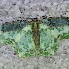 Eucyclodes Moth