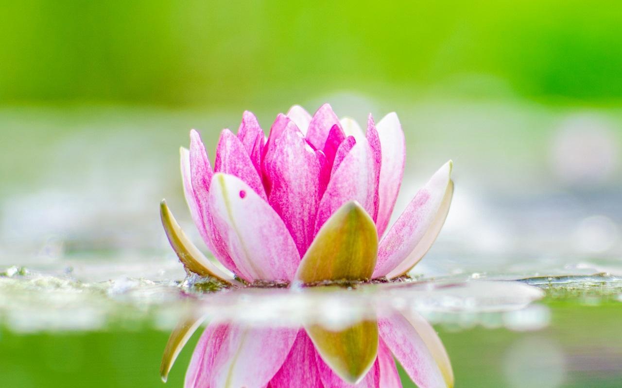 لمحبي الورود تطبيق خلفيات عن وردة الزنبق في غاية الروعة jVd7Rg7ROgdk9q9z3sjW