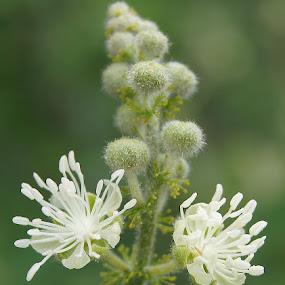 cotton candy by Bill Steffler - Nature Up Close Flowers - 2011-2013