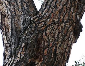 Photo: Acorn Woodpecker granary in a Scotch pine, Stevens Creek County Park, Cupertino, California