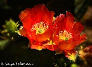 Photo: Good Morning!!  Saija Lehtonen Photography  #CactusFlowers #Cactus #Floral #Flowers #Nature #Photography #Southwest #Arizona #PricklyPearCactus