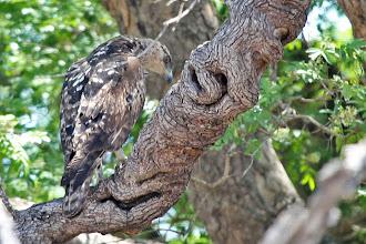 Photo: African Hawk-Eagle