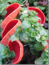 Photo: Scarlet elf cup fungus Feb 2015 © Pauline Popely