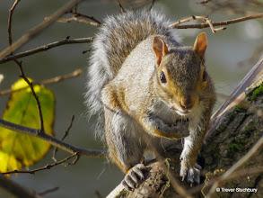 Photo: Grey Squirrel, Grandholm