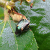 Flower Chafer Beetle