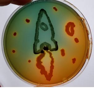 Hektoën + Escherichia coli et Salmonella enteritidis