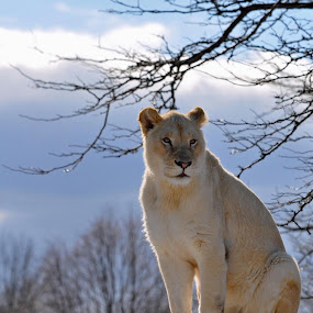 by Jon Hurd - Animals Lions, Tigers & Big Cats