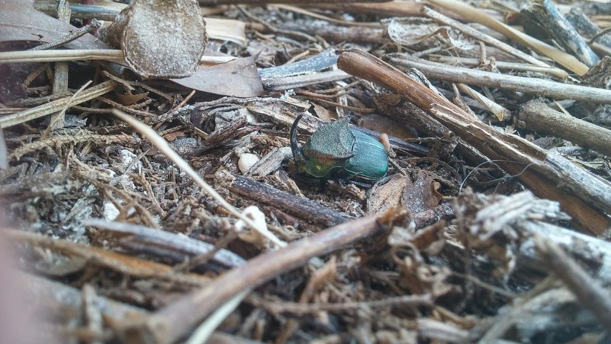 Rainbow scarab beetle