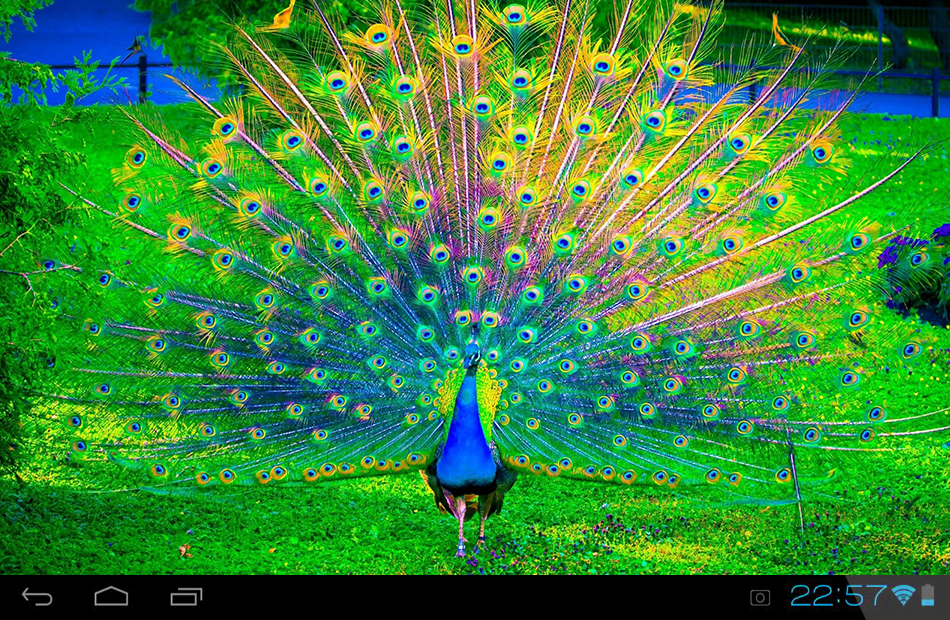 peacock live wallpaper   android apps on google play