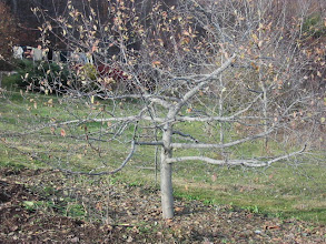Photo: Nicely pruned persimmon tree.