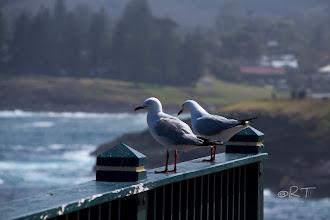 Photo: Australian Seagulls