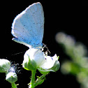 Holly blue; Náyade