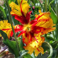 Tulipano di