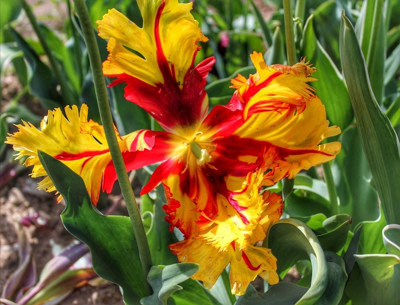 Tulipano di Principiante2018