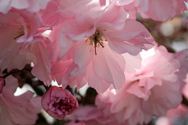 Fiori rosa...... di Ro51