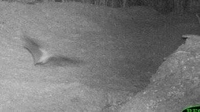 Photo: Batssometimes visit the salt licks at night Os morcegos por vezes visitam as salinas à noite