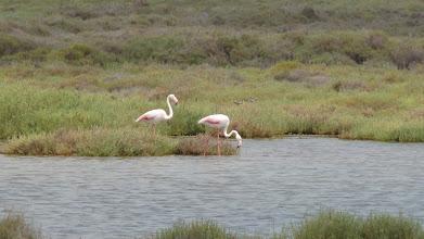 Photo: Flamingos, Deltebre