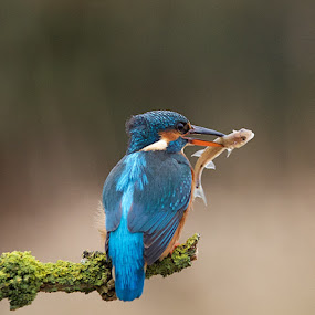 Breakfast Time! by Charlie Davidson - Animals Birds ( wild, scotland, nature, kingfisher, wildlife, birds )