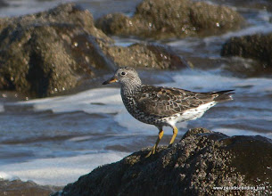 Photo: Surfbird on Matanchen Bay