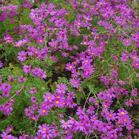 Blomme by Lana Kirstein - Flowers Flower Gardens ( fyn blomme pers kleure groen loof bedding,  )