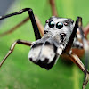 Male Ant Mimicking Spider
