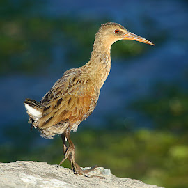 Clapper rail by Gérard CHATENET - Animals Birds