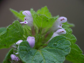 Photo: Lamium purpureum