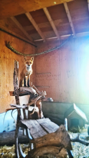 16 WP_20150806_10_40_59_Pro.jpg - This handsome, playful red fox was rescued by Alaska Wildlife Conservation Center