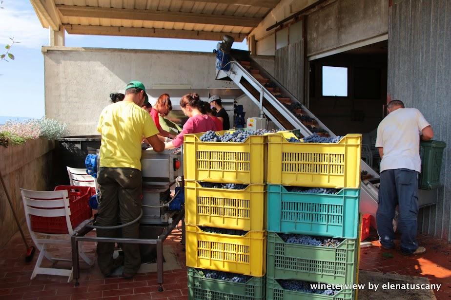 grape harvest, post harvest, vendemmia, roccapesta, morellino di scansano, cantina, winemaking